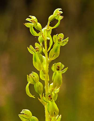Common Twayblade